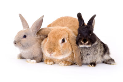 We Perform Rabbit Spay and Neuterering